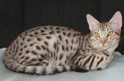 ocicat kittens for sale jumpnspots ocicat kittens for sale thousand